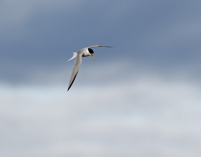 Birds of the Humber Estuary - Little tern