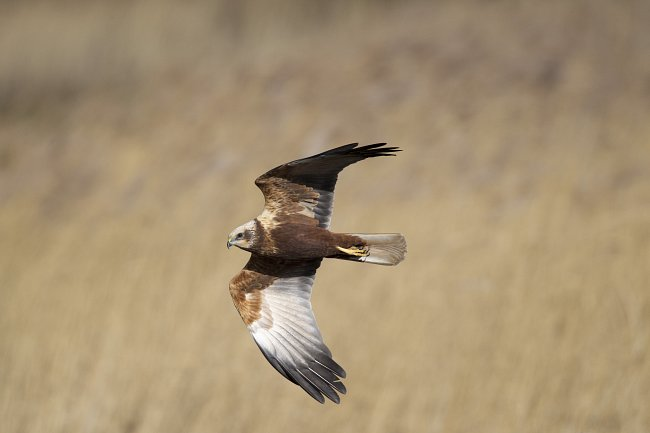 Humber Estuary Birds: Marsh harrier