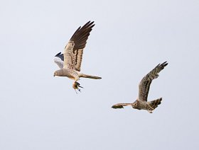 Montagu's harriers